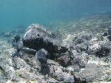 Marine Iguana, Amblyrthynchus Cristatus, Feeding on Algae Underwater Photographic Print by Mauricio Handler