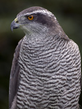 Portrait of a Captive Northern Goshawk, Accipiter Gentilis Photographic Print by John Cancalosi