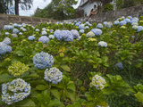 Hydrangeas in Bloom at a Coffee Plantation Photographic Print by Karen Kasmauski