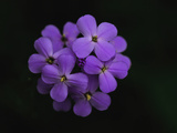 Close Up of a Cluster of Purple Flowers Photographic Print by Brian Gordon Green