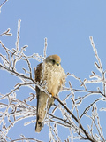 Eurasian Kestrel (Falco Tinnunculus) Female in Winter, Germany Photographic Print by Konrad Wothe