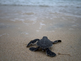 Green Sea Turtle, Chelonia Mydas, Hatchling Making its Way to the Ocean Photographic Print by Tim Laman