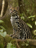 Ocelot (Felis Pardalis) Standing on Buttress Root, Amazon Rainforest, Ecuador Fotodruck von Pete Oxford