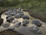 Volcan Alcedo Giant Tortoises (Geochelone Nigra Vandenburghi) in Wallow, Galapagos Photographic Print by Pete Oxford