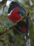 Masked Trogon (Trogon Personatus) Male, Andes Mountains, Ecuador Photographic Print by Pete Oxford
