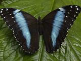 Blue Morpho (Morpho Peleides) Butterfly, on a Leaf in the Rainforest, Ecuador Fotodruck von Pete Oxford