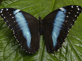 Blue Morpho (Morpho Peleides) Butterfly, on a Leaf in the Rainforest, Ecuador Photographic Print by Pete Oxford
