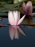 Pink Water Lily Flowers Starting to Open Photographic Print by Joe Petersburger