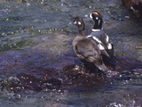 A Pair of Harlequin Ducks Standing on a Rock in Mcdonald Creek Photographic Print by Bates Littlehales
