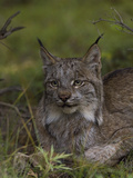 Canada Lynx (Lynx Canadensis), Alaska Photographic Print by Michael S. Quinton