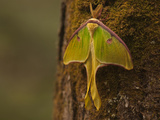 A Luna Moth, Actias Luna, Perched on a Tree Trunk Photographic Print by Karen Kasmauski