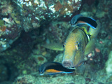 A Goatfish and Cleaner Wrasse at a Cleaning Station Photographic Print by Mauricio Handler