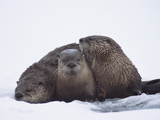 River Otter (Lutra Canadensis) Three in Snow, Western Montana Photographic Print by Michael S. Quinton