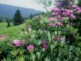 Catawba Rhododendron Shrubs in Bloom Photographic Print by Bates Littlehales