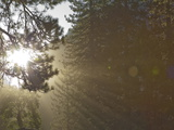 Sunlight Beams Through the Branches of an Evergreen Tree Photographic Print by Mikey Schaefer