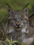 Canada Lynx (Lynx Canadensis), Delani National Park, Alaska Photographic Print by Michael S. Quinton