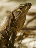 Spiny-Tailed Iguana, Ctenosara Similis Photographic Print by Tim Laman