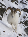 Dall Sheep (Ovis Dalli) Ram, Yukon Territory, Canada Photographic Print by Michael S. Quinton