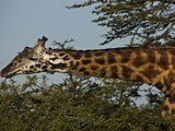 A Masai Giraffe Eating Tree Top Leaves Photographic Print by Beverly Joubert