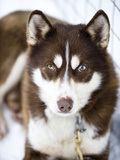 A Husky Sled Dog Photographic Print by Alison Wright