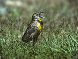 An Eastern Meadowlark, Sturnella Magna, Singing in a Meadow Photographic Print by Bates Littlehales