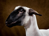 A Shropshire Sheep at the Indiana State Fair Photographic Print by Vincent J. Musi