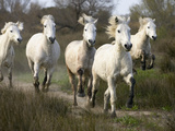 Camargue Horse (Equus Caballus) Group Running, Camargue, France Photographic Print by Konrad Wothe