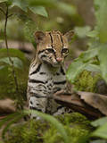 Ocelot (Felis Pardalis) Sitting Among Plants, Amazon Rainforest, Ecuador Photographic Print by Pete Oxford