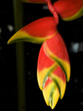 Lobster Claw or False-Bird-Of-Paradise, Heliconia Rostrata, Flower Photographic Print by Joe Petersburger