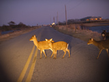 A Small Group of Sika Deer in the Headlights of a Car Photographic Print by Karen Kasmauski