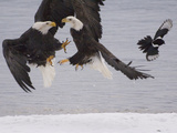 Bald Eagle (Haliaeetus Leucocephalus) Pair Fighting over Fish, Idaho Photographic Print by Michael S. Quinton
