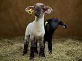Young Buck Lambs at the Indiana State Fair Photographic Print by Vincent J. Musi