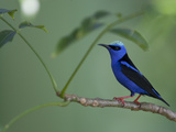 Red-Legged Honeycreeper, Cyanerpes Cyaneus, Perched on a Tree Branch Photographic Print by Roy Toft