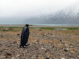 A Rare Melanistic King Penguin on a Rocky Beach with Seals Photographic Print by Andrew Evans