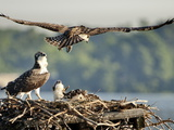 A Fledgling Osprey Lands in its Nest after One of its Early Flights Photographic Print by Kent Kobersteen