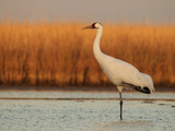 Whooping Crane Standing on One Leg in Muddy Pond at Wintering Grounds Stampa fotografica di Klaus Nigge