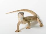 A Gould's Monitor Lizard, Varanus Gouldii Photographic Print by Joel Sartore