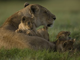 African Lioness, Panthera Leo, Resting with Cubs Photographic Print by Beverly Joubert
