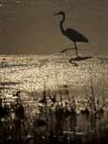 A Backlit View of an Egret in Rippled Water and Reflections Fotografisk tryk af Karen Kasmauski