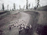 Chilean Ranchers Herd their Sheep from Pastures to Corrals Photographic Print by W. Robert Moore