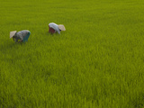 Vietnamese Rice Farmers Working in a Lush Green Paddy Photographic Print by Karen Kasmauski