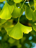 Close-up of Ginkgo Leaves, Photographic Print