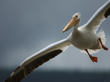 An American White Pelican Sails Above the Slave River Photographic Print by Klaus Nigge