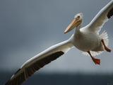 An American White Pelican Sails Above the Slave River Stampa fotografica di Klaus Nigge