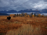 A Buffalo Grazing in Grand Teton National Park Photographic Print by Aaron Huey
