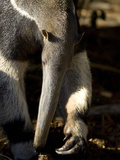 Close Up of an Anteater Photographic Print by Paul Sutherland