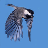 A Carolina Chickadee in Flight with a Sunflower Seed in it's Beak Photographic Print by Bates Littlehales