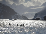 Gentoo Penguins, Pygoscelis Papua, Swim Home after Feeding on Krill Photographic Print by  Keenpress