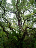 Looking Up into the Branches of a Live Oak Tree Photographic Print by Brian Gordon Green