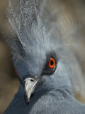 Close Up Portrait of a Western Crowned Pigeon, Goura Cristata Photographic Print by Paul Sutherland